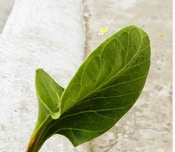 Leaf of a krishna wat tree