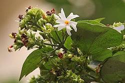 Parijat Flower