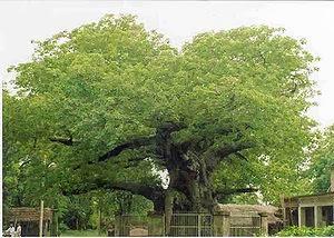 Parijaat Tree