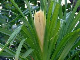 Ketaki Flower Or Kewra Flower