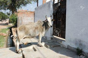 Cow waiting to enter a house door a Khajuraho on India
